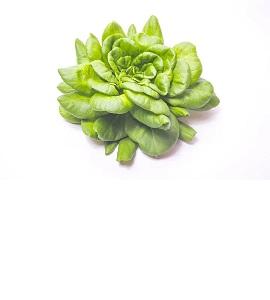 Salat grün